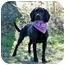 Photo 3 - Labrador Retriever/Hound (Unknown Type) Mix Dog for adoption in Portsmouth, Rhode Island - Zia