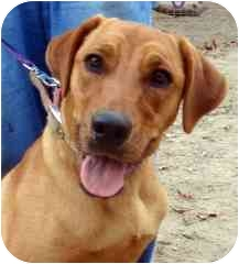 Rhodesian Ridgeback Mix Dog for adoption in Canton, Texas - Ashley