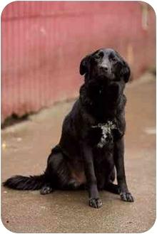 Golden Retriever/Labrador Retriever Mix Dog for adoption in Portland, Oregon - Lady