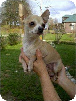 Chihuahua Dog for adoption in Baltimore, Maryland - Lil' Man