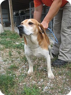 Hound (Unknown Type) Mix Dog for adoption in Florence, Indiana - Red