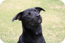 Labrador Retriever Mix Puppy for adoption in Boonsboro, Maryland - Cookie