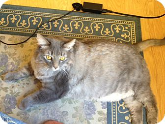 Maine Coon Cat for adoption in Laguna Woods, California - Minnie
