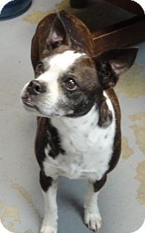 Boston Terrier Dog for adoption in Spruce Pine, North Carolina - Aggie