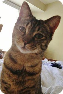Domestic Shorthair Cat for adoption in Reston, Virginia - Sarah