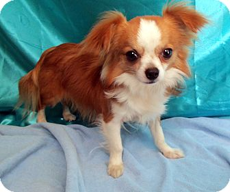 Chihuahua Puppy for adoption in Grasonville, Maryland - Dexter