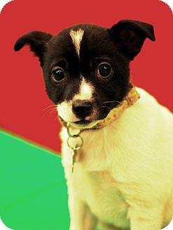 Rat Terrier/Akita Mix Puppy for adoption in Detroit, Michigan - Gigi-Adopted!