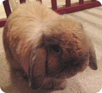 American Fuzzy Lop for adoption in St. Paul, Minnesota - Pocky -  AVAILABLE SOON