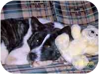 Akita Dog for adoption in Chicago, Illinois - Blaze