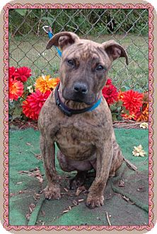 American Pit Bull Terrier Mix Puppy for adoption in Marietta, Georgia - MAXINE - see video