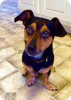 Chihuahua/Dachshund Mix Dog for adoption in Jefferson, Georgia - Danny