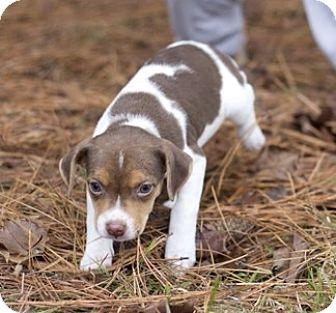 Terrier (Unknown Type, Medium) Mix Puppy for adoption in Glenburn, Maine - Melody