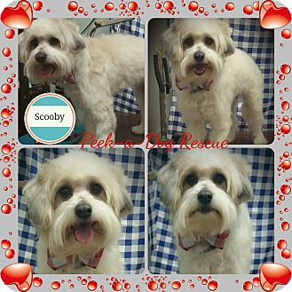 Old English Sheepdog/Lhasa Apso Mix Dog for adoption in South Gate, California - Scooby