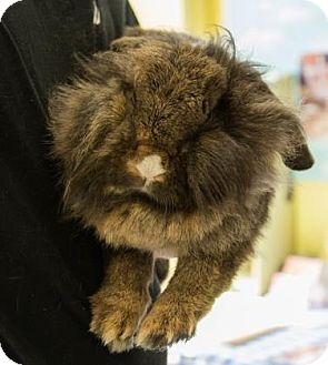 Mini Lop Mix for adoption in Lowell, Massachusetts - Donna Summers