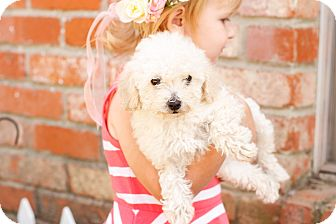 Maltese/Poodle (Miniature) Mix Puppy for adoption in Auburn, California - Angel