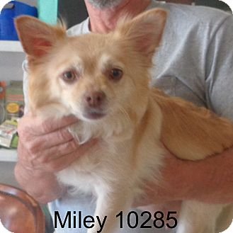 Pekingese/Corgi Mix Dog for adoption in Manassas, Virginia - Miley