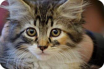 Domestic Longhair Kitten for adoption in Washington, Georgia - Callisto