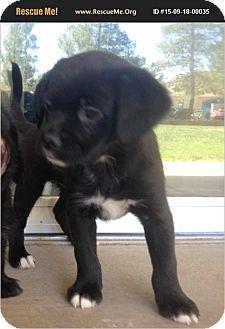 Cocker Spaniel/Corgi Mix Puppy for adoption in Hurricane, Utah - Grace