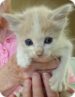 Domestic Shorthair Kitten for adoption in Scottsdale, Arizona - Lucky
