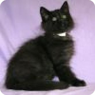 Domestic Mediumhair Cat for adoption in Powell, Ohio - Sora