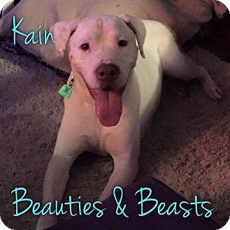 Pit Bull Terrier Mix Dog for adoption in Wichita, Kansas - Kain