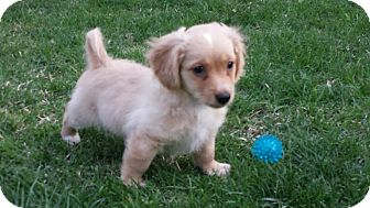 Dachshund/Terrier (Unknown Type, Small) Mix Puppy for adoption in Encino, California - Avalanche - Winter Pup