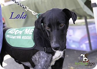 Labrador Retriever/Greyhound Mix Dog for adoption in Alpharetta, Georgia - Lola