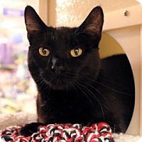 Adopt A Pet :: Sargeant - Bellevue, WA