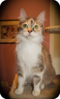 Domestic Mediumhair Cat for adoption in Hamilton., Ontario - Morgana