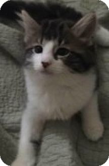 Domestic Shorthair Kitten for adoption in McHenry, Illinois - Oswald