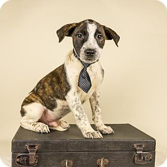 Beagle/Cattle Dog Mix Puppy for adoption in Columbia, Illinois - Mike