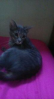 Domestic Shorthair Cat for adoption in Flint, Michigan - Shay Shay