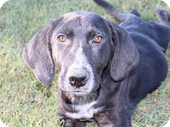 Labrador Retriever/Plott Hound Mix Dog for adoption in Harmony, Glocester, Rhode Island - Moot