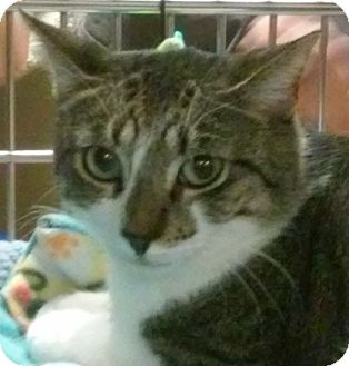 Domestic Shorthair Cat for adoption in Yorba Linda, California - Clement