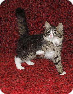 Maine Coon Kitten for adoption in Plano, Texas - VICTORIA - GREAT BISCUIT MAKER