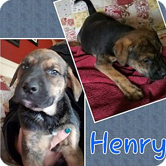 Hound (Unknown Type) Mix Puppy for adoption in Laingsburg, Michigan - Henry