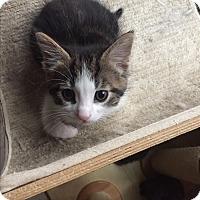 Adopt A Pet :: Drax - Sterling Hgts, MI