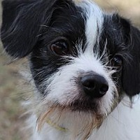 Adopt A Pet :: Poindexter - Colorado Springs, CO