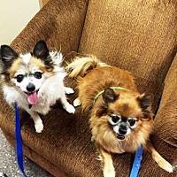 Adopt A Pet :: Bear & Gizmo - Gilbert, AZ