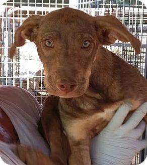 Weimaraner/Rhodesian Ridgeback Mix Puppy for adoption in Las Vegas, Nevada - Carmel