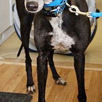Adopt A Pet :: Steffi - Tucson, AZ