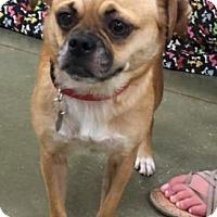 Adopt A Pet :: Ginger - Irmo, SC