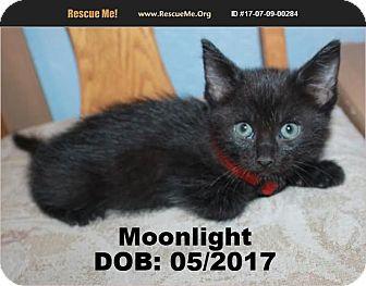 Domestic Shorthair Kitten for adoption in Chandler, Arizona - Moonlight