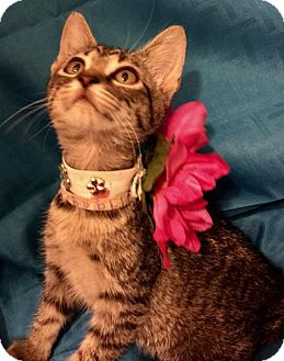 Domestic Shorthair Kitten for adoption in Mobile, Alabama - Bubbles
