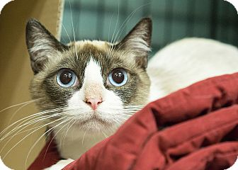 Snowshoe Cat for adoption in Montclair, California - Arabella