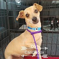 Adopt A Pet :: Candlebox - Las Vegas, NV