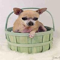 Adopt A Pet :: PARIS HILTON - San Martin, CA