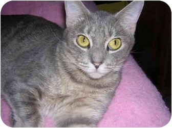 Domestic Shorthair Cat for adoption in Richmond, Virginia - Amy