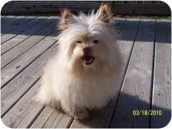Pomeranian/Cairn Terrier Mix Dog for adoption in Plainfield, Illinois - Capone