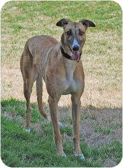 Greyhound Dog for adoption in Dallas, Texas - Gypsy